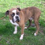 Baxter, Kitsap Lost Pets