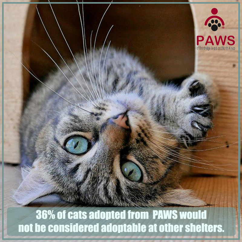 Adopt a Cat from PAWS of Bainbridge Island and North Kitsap